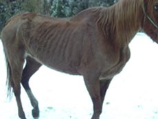 Poor-starving-horse