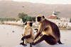 Pushkar_monkey